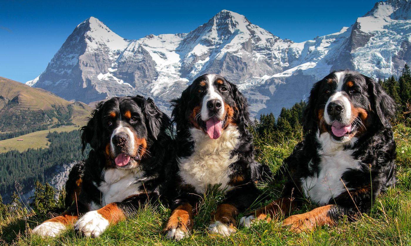 Berner Sennenhunde Zucht Zuchtstatte Zum Schangnauergluck